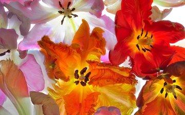 макро, лепестки, тюльпаны
