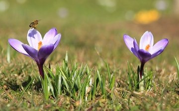 весна, пчела, крокусы