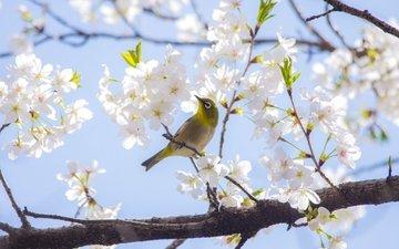 ветка, дерево, весна, вишня, сакура, птичка, японская, белоглазка
