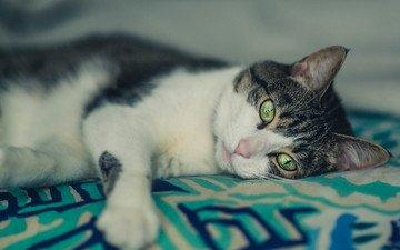 глаза, кот, шерсть, кошка, лежит