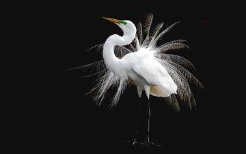 bird, feathers, white, heron