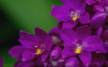макро, лепестки, лиловый, орхидея