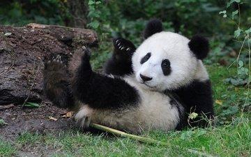 панда, медведь, малыш