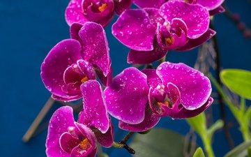 капли, лиловый, орхидеи