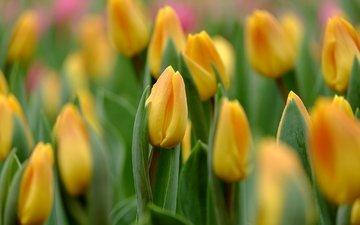 бутоны, макро, тюльпаны, желтые