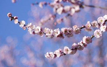 branch, flowering, spring