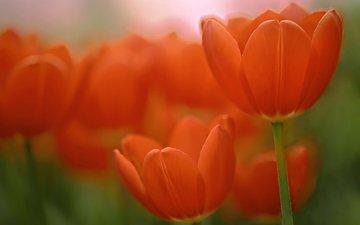 макро, тюльпаны, боке