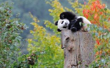 панда, малыш, медвежонок