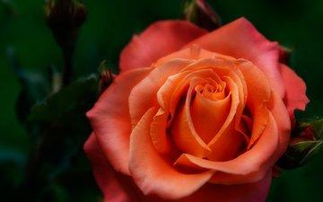 роза, размытость, оранжевая