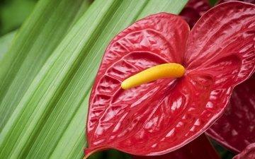 макро, цветок, фламинго, красный, антуриум