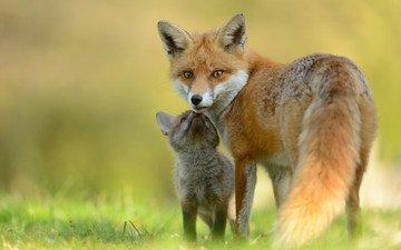 лиса, лисица, мама, малыш, лисенок