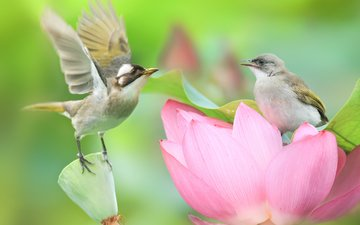 nature, flower, birds, lotus, pair