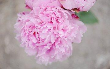цветок, лепестки, розовые, пион
