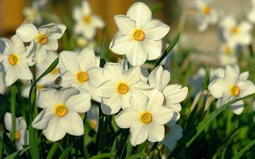 свет, макро, весна, нарциссы, пчела