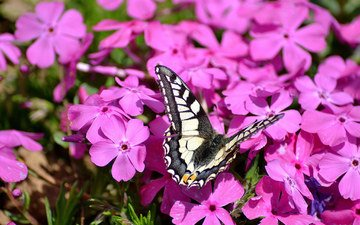 flowers, insect, butterfly, pink, phlox