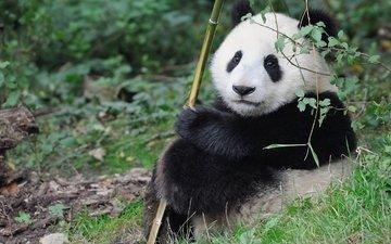 панда, малыш, милый