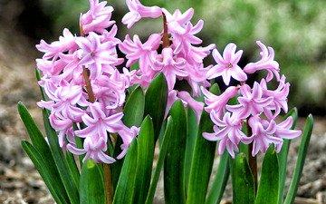 весна, розовый, гиацинт