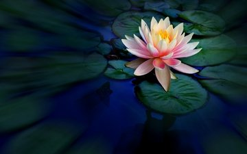вода, лилия, лотос, водяная, нимфея