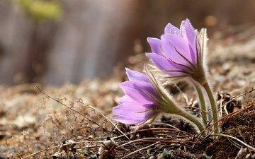 весна, нежность, анемоны, сон-трава, прострел