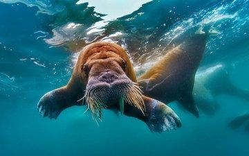 water, walrus, tusks, the arctic ocean