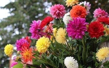 цветы, разноцветные, осень, георгины