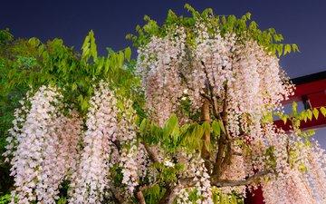 цветение, гроздья, глициния, вистерия