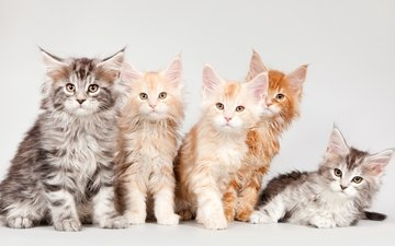 kittens, maine coon, quintet