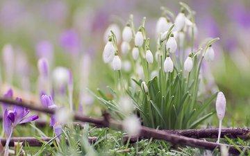 цветы, макро, весна, подснежники, крокусы, боке