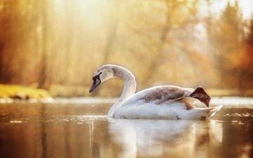 озеро, природа, птица, лебедь