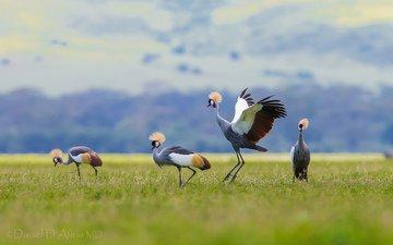 птицы, венценосный журавль, журавли, хохолок