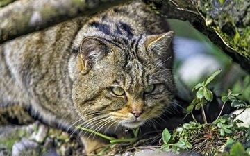 хищник, охота, дикий кот