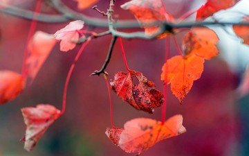 leaves, autumn, red