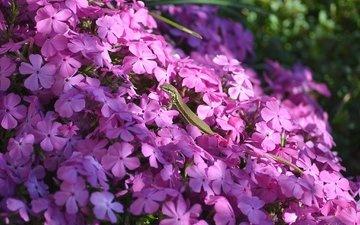 свет, цветы, тень, ящерица, розовые, флоксы