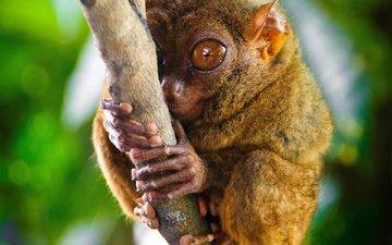 глаза, ветка, примат, долгопят
