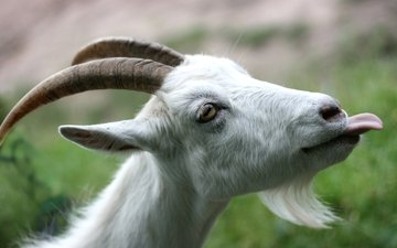 goat, horns, language, beard