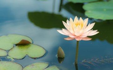 вода, одиночество, лилия, лотос, нимфея