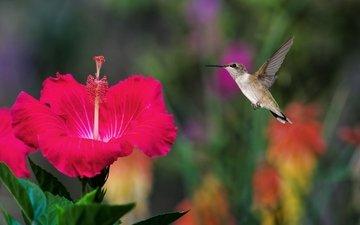 полет, птичка, колибри, гибискус