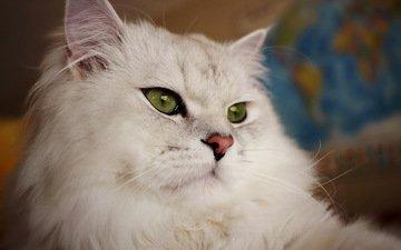 кот, пушистый, британец