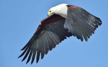полет, крылья, орел