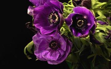цветы, листья, макро, лепестки, черный фон, лиловый, анемоны