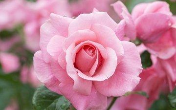 rose, bud, pink