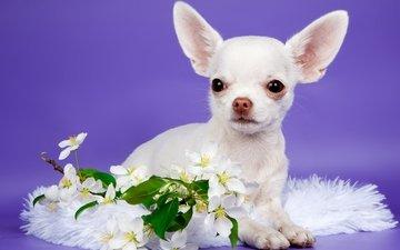 цветы, щенок, милый, чихуахуа