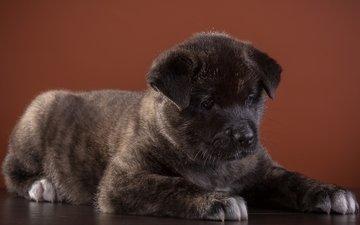 dog, puppy, breed, american, akita