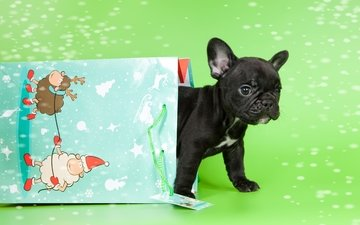 puppy, baby, package, french bulldog