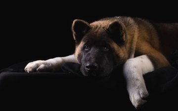 face, portrait, sadness, dog, american, akita