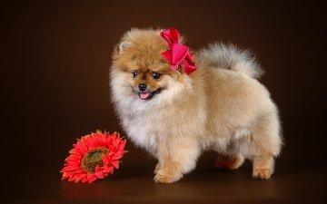 цветок, щенок, бант, шпиц