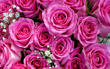 бутоны, розы, букет, розовый, гипсофила