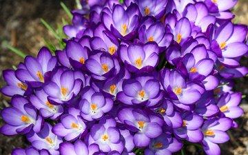 макро, фиолетовый, весна, крокусы