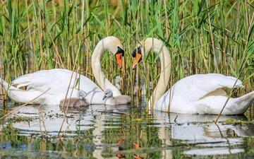 птицы, семья, лебеди, птенцы