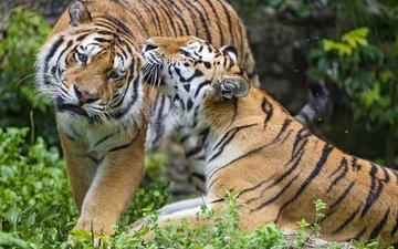 тигр, пара, чувства